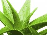 Blahodárné účinky z rostliny Aloe Vera mimořádně příznivě působí na lidskou pokožku, kterou příjemně zjemní. Zmírňuje bolesti svalů a kloubů. V kombinaci s tímto materiálem dosáhneme výrazného antibakteriálního efektu lůžkovin.